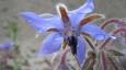 La bourrache : les jardiniers l'apprécient pour son effet anti-limace. Les fleurs et les jeunes feuilles ont un usage culinaire. L'huile extraite de ses graines, riche en oméga-6 est utilisée en usage externe, notamment pour les soins de la peau. © Francine Batsère