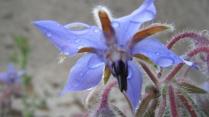 La bourrache : les jardiniers l'apprécient pour son effet anti-limace. Les fleurs et les jeunes feuilles ont un usage culinaire. L'huile extraite de ses graines, riche en oméga-6 est utilisée en usage externe, notamment pour les soins de la peau.