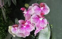 Fascinantes et délicates, les orchidées représentent une des familles les plus diversifiées, comptant plus de vingt-cinq mille espèces, réparties en huit-cent-cinquante genres. ©Francine Batsère
