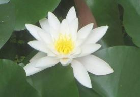 Le nénuphar est une des plus belles fleur des nos bassins. Il aurait des vertus cicatrisantes et antispasmodiques. © Francine Batsère