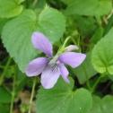 La violette : riche en mucilage, ses feuilles donneront de la consistance aux potages, sa fleur cristallisée enrichira les desserts. Les herboristes la conseillaient pour calmer la toux. © Francine Batsère