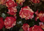 broceliande sous la rosee
