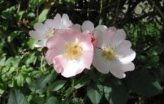La fleur de l'églantier, délicatement parfumée est réputée pour le soin de la peau. Grâce à ses propriétés astringentes, elle en resserre les pores et la raffermit. La Wild Rose fait partie des élixirs de Bach. Elle redonne de l'intérêt à l'être résigné et las et l'aide à redonner un sens à sa vie. ©Francine Batsère