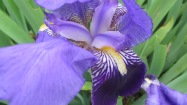 L'iris des jardins est aujourd'hui une plante ornementale qui, si on n'y prend garde, devient vite envahissante. Son rhizome est utilisé en cosmétique. L'essence d'iris (ou la poudre d'iris) est connue pour adoucir la peau. Autrefois, on l'utilisait pour ses vertus expectorantes, purgatives et diurétiques. © Francine Batsère