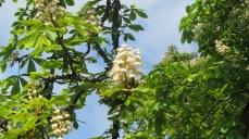 """Marronnier blanc, marronnier d'Inde bien connu pour ses vertus contre l'insuffisance veineuse, c'est aussi le """"white chesnut"""" des fleurs de Bach, remède contre les pensées et les idées envahissantes qui font intrusion dans l'esprit et empêchent de se concentrer. Cet arbre qui peut atteindre 30 m de hauteur bénéficie d'une grande longévité. On peut admirer un spécimen planté en ... 1606 dans le Cantal à Vézac. © Francine Batsère"""