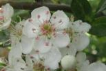 L'aubépine (Crataegus monogyna) fleurit en avril-mai. Ses petites fleurs blanches, agréablement parfumées, se dégustent en infusion et aident efficacement à lutter contre l'anxiété, la nervosité et l' insomnie. La fleur de l'aubépine entre dans la composition de plus de deux cents spécialités pharmaceutiques (troubles du rythme cardiaque, palpitations, hypertension artérielle, prévention des troubles coronariens). © Francine Batsère
