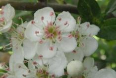 L'aubépine (Crataegus monogyna) fleurit en avril-mai. Ses petites fleurs blanches, agréablement parfumées, se dégustent en infusion et aident efficacement à lutter contre l'anxiété, la nervosité et l' insomnie. La fleur de l'aubépine entre dans la composition de plus de deux cents spécialités pharmaceutiques (troubles du rythme cardiaque, palpitations, hypertension artérielle, prévention des troubles coronariens)