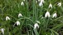 De multiples légendes sont associées à la perce-neige, notamment la pureté. On peut citer la poème de Robert Desnos : Violette de la Chandeleur, Perce, perce, perce-neige, Annonces-tu la Chandeleur, Le Soleil et son cortège De chansons, de fruits, de fleurs ? Perce, perce, perce-neige A la Chandeleur