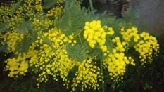 On consomme les fleurs du mimosa cristallisées ou confites. Elles ornaient autrefois les gâteaux. On peut en faire des sirops, des gelées, ou des bonbons… à condition de les préparer fraîches. (Attention : Ne pas utiliser les fleurs vendues par les fleuristes ou les jardineries)