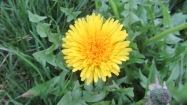 Le pissenlit (Taraxacum officinale) est probablement la plus connue des plantes sauvages. Elle pousse à peu près partout. Elle est à la fois comestible et médicinale. https://petitspasbienetre.com/fevrier/3/