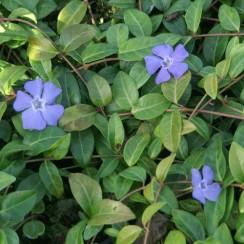 La pervenche a longtemps été considérée comme une plante magique, sacrée. Elle a été appelée la « violette des sorciers » car elle permettait de guérir les blessures. https://petitspasbienetre.com/mars/4/